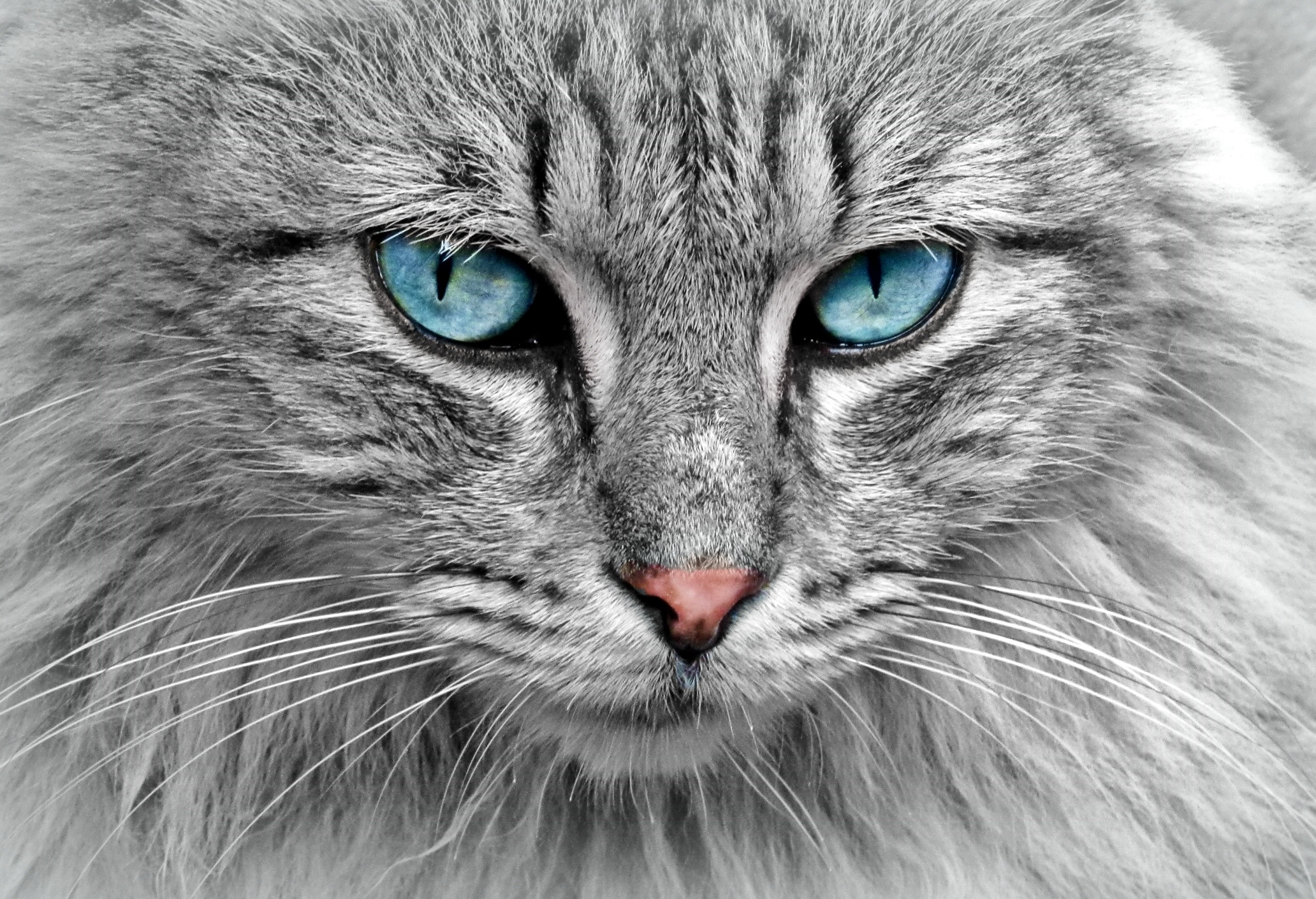 10 viking facts about the norwegian forest cats
