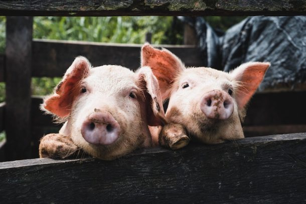 pigs smiling