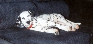 ack and white dalmatian on black couch