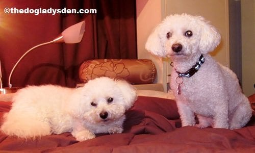 #AtoZChallenge Day 2: B is for Bichon Frise, The Doglady's Den