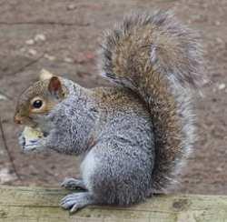 #AtoZchallenge: K is for King Shepherd: Squirrel problem