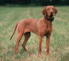 #AtoZChallenge 2016, V is for Vizsla, The Doglady's Den