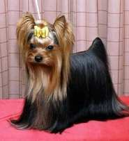 #AtoZChallenge: Y is for YORKSHIRE TERRIER