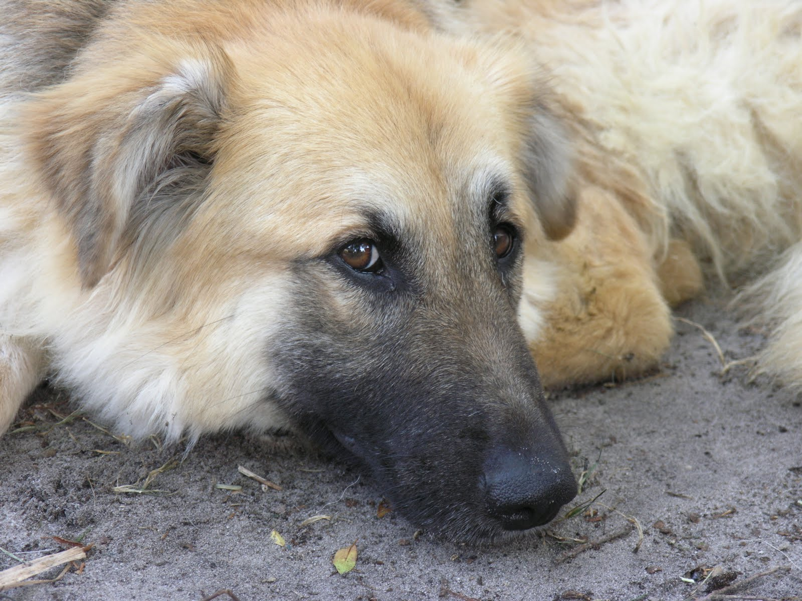 Gracie the Golden Shepherd ~ Adopted!