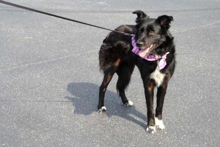 Easy Peasy Penny, the Border Collie ~ Adopted