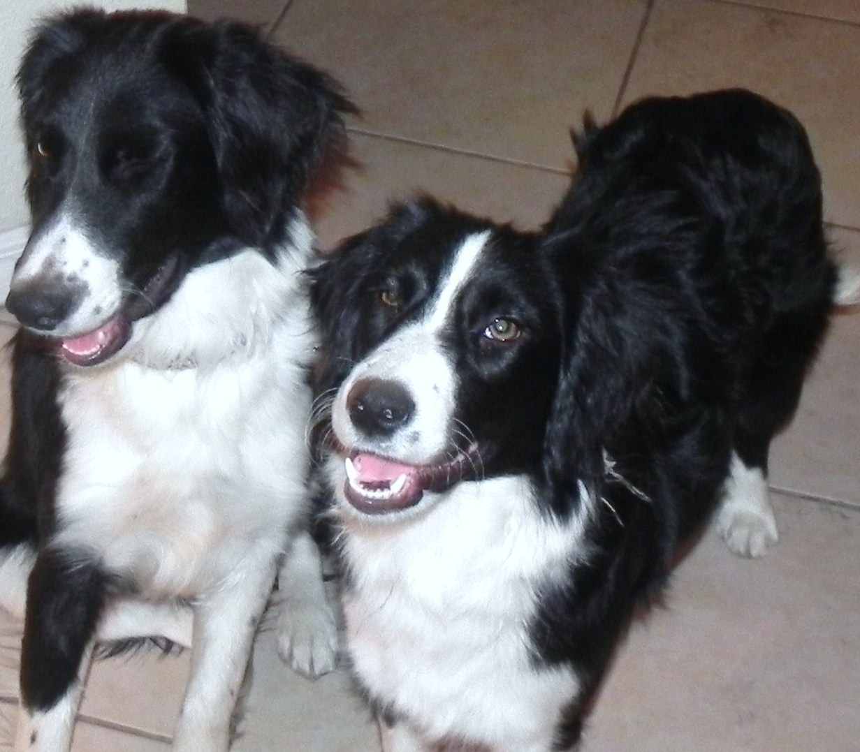 Angora and Cashmere – The Petite Border Collie Sisters ~ ADOPTED!