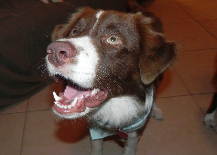 Boyd – The Adorable Red Border Collie ~ ADOPTED!