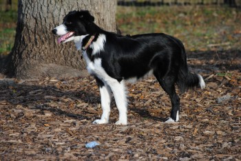 Bonnie Collie, the Border Collie Beauty Needs Our Help