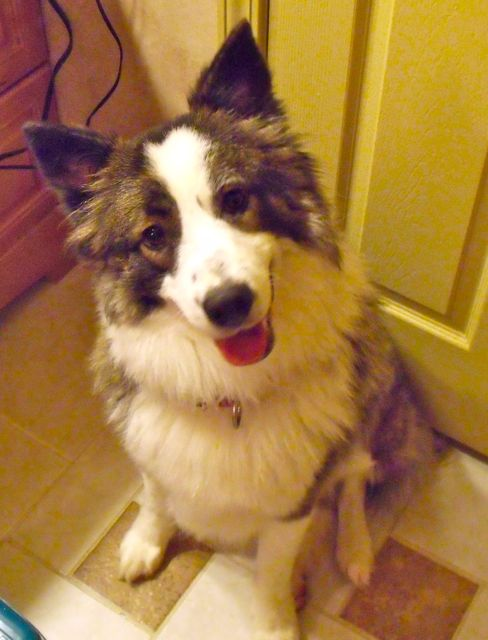 Denver-the Aussie~Adopted