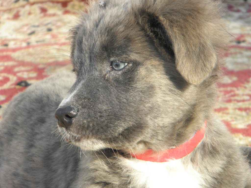 Hollywood, the Aussie Houla~Adopted