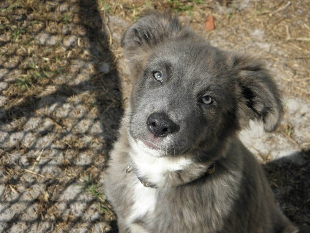 Goose, the Aussie Houla~Adopted