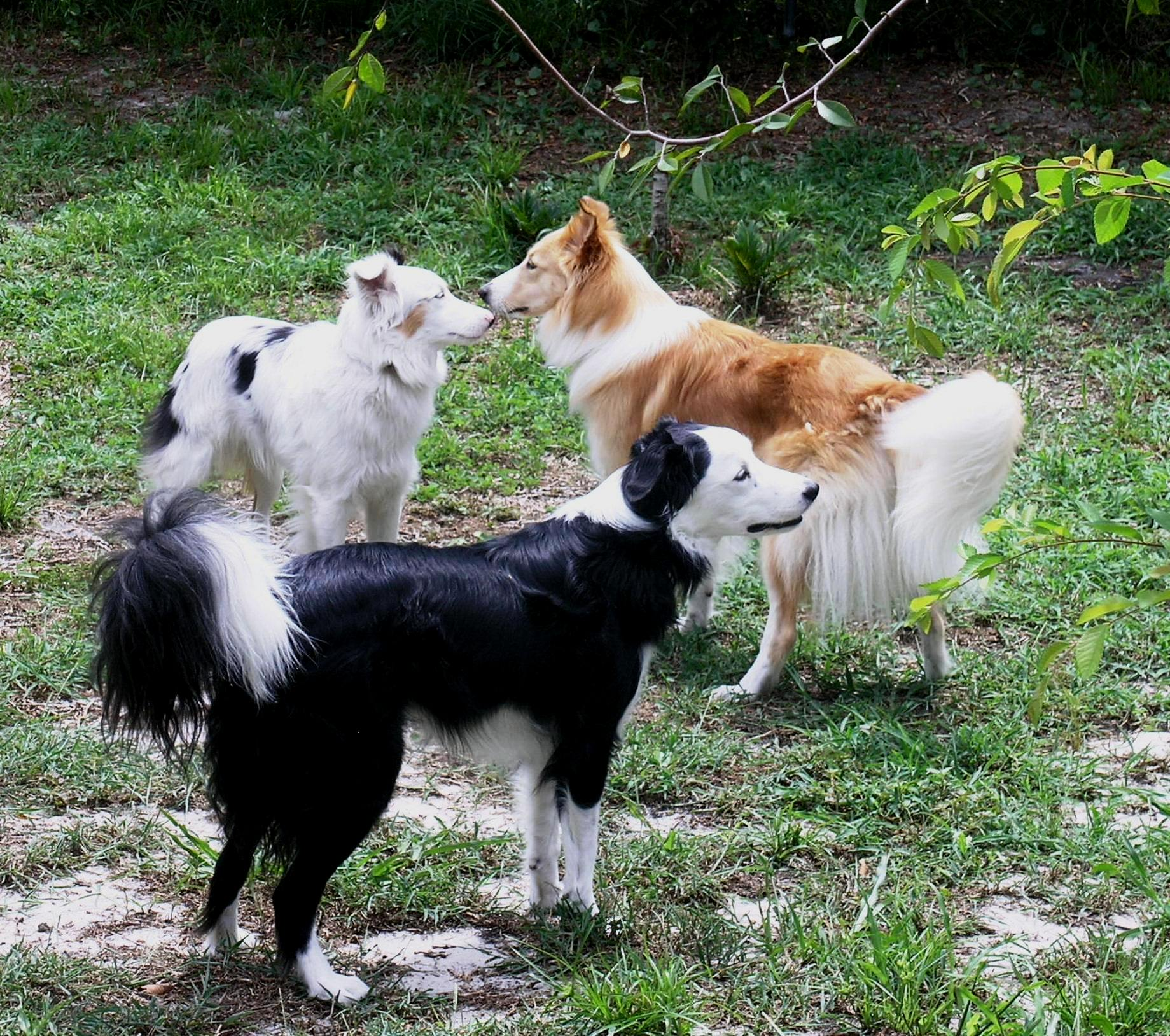 What is a TDL Dog?