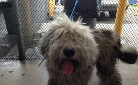 Old English Sheepdog's Shelter Photo