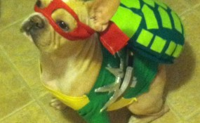 Erica Saldivar's Belvedere- French Bulldog, the Ninja Turtle!