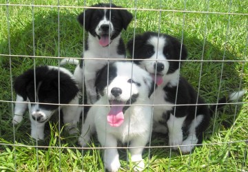 The Dog Liberator™ - Herding Breed Rescue, including Border