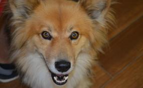Kit, the Foxy Sheltie