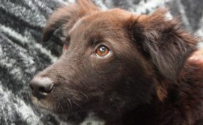 Lancelot, the chocolate Border Collie