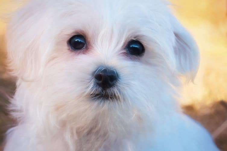 Dog Tear Stains How To Safely Get