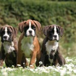 Training Boxer Puppies The Dog Training Secret