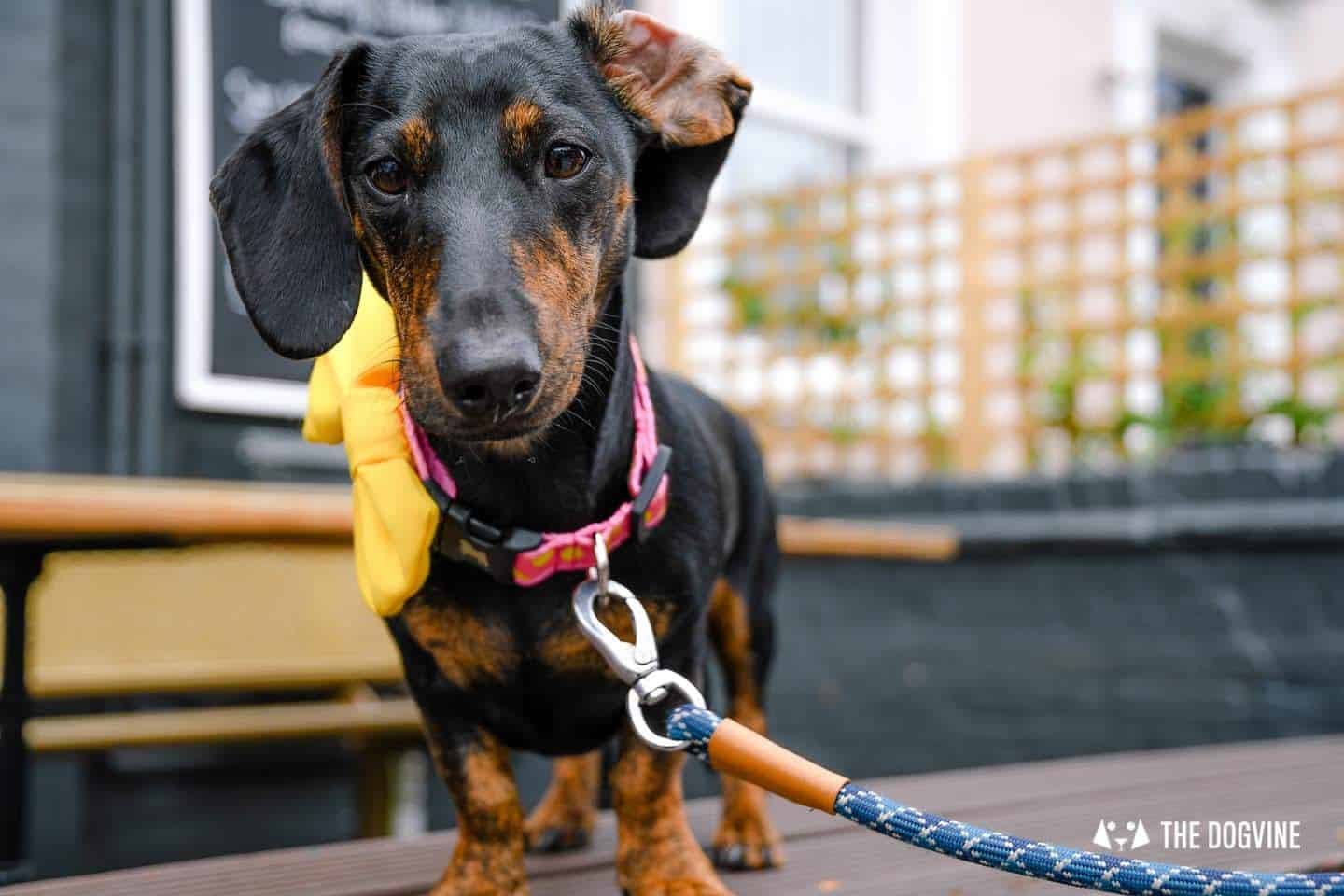 London's Best Dressed Dachshunds At Sausage Social London The Mad Hatters Tea Party 139