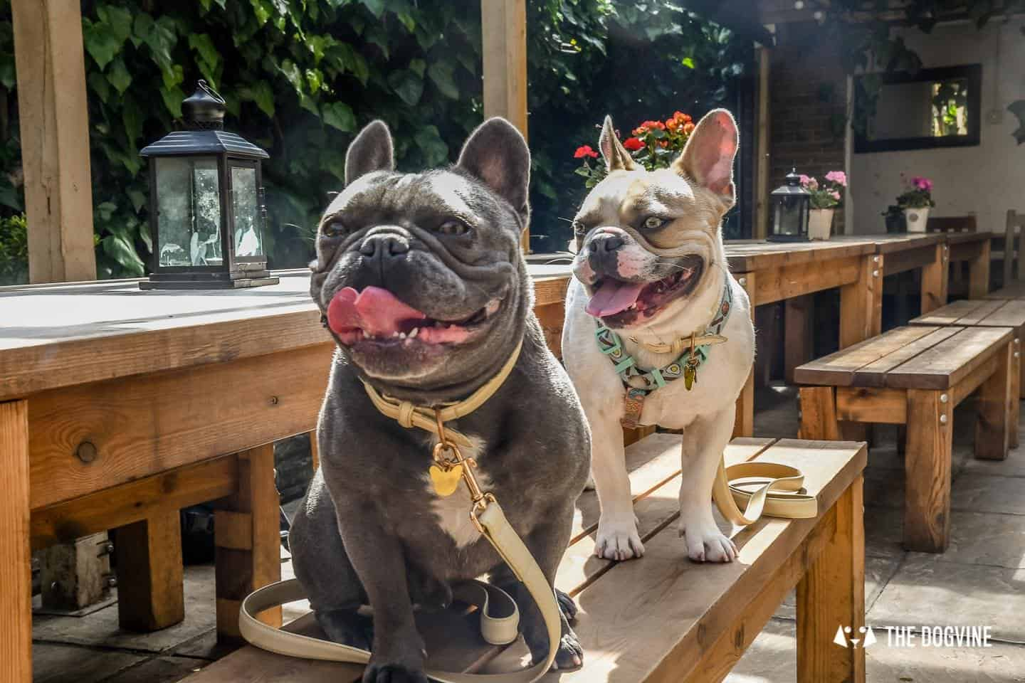 My Dog Friendly London By Herbie and Dave The Frenchies 14