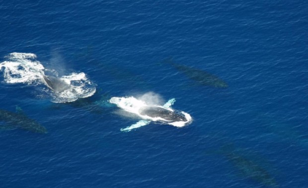 Aerial surveys of humpback whales