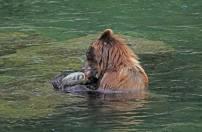 brown bear and hidden falls hatchery 7.25.18