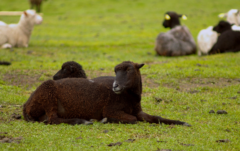 Estonian-native-sheep
