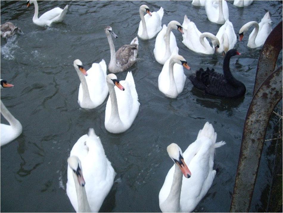 07-swans