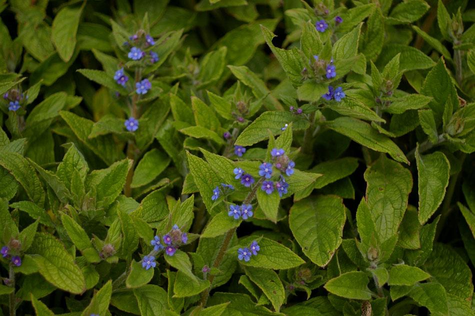 10-bugloss-blue