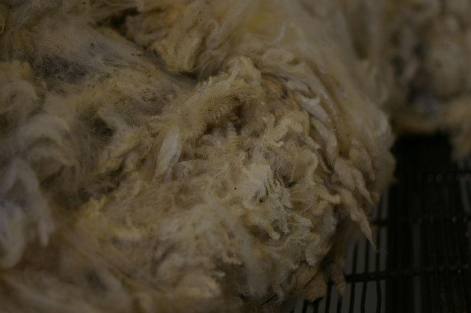Fine Shetland Fleece - very few guard hairs and wonderful crimp
