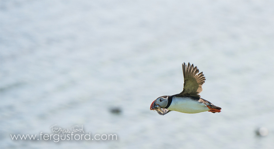 Puffin photographed in Shetland © Fergus Ford