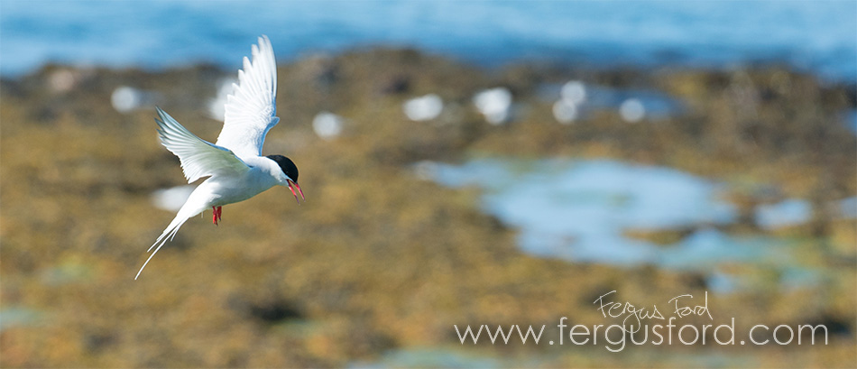 Tern photographed in Shetland © Fergus Ford