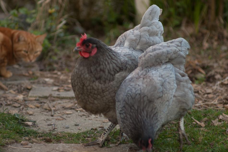 Jasper stalking chickens-1