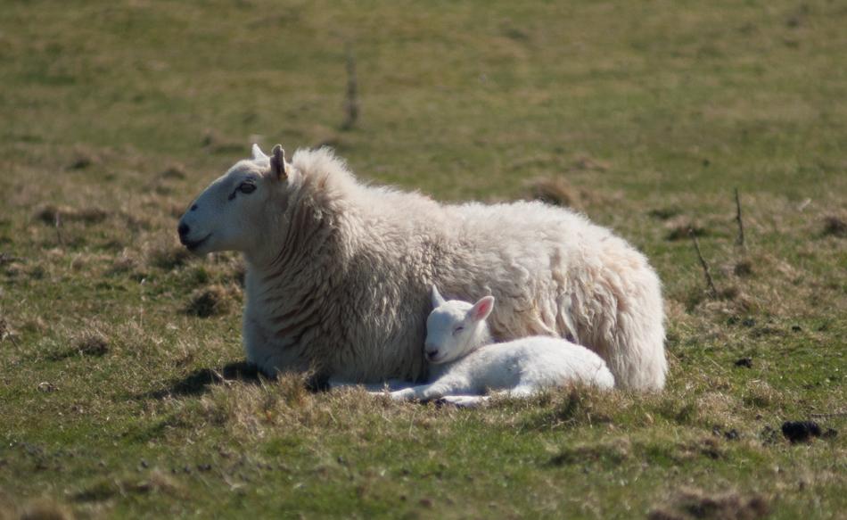 ewe with lamb-1