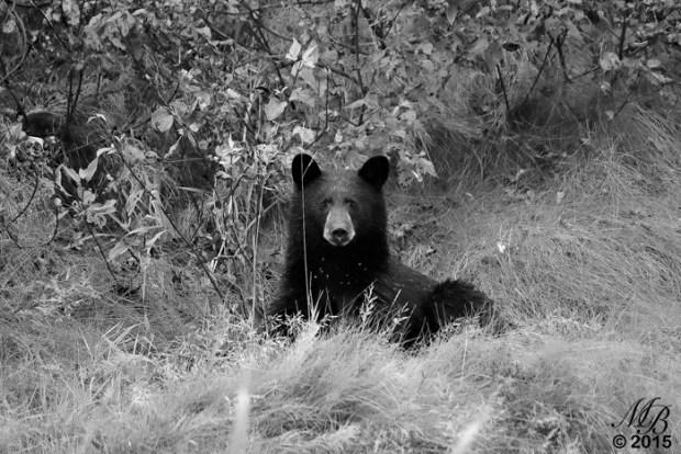 2 A Black Bear's Stare