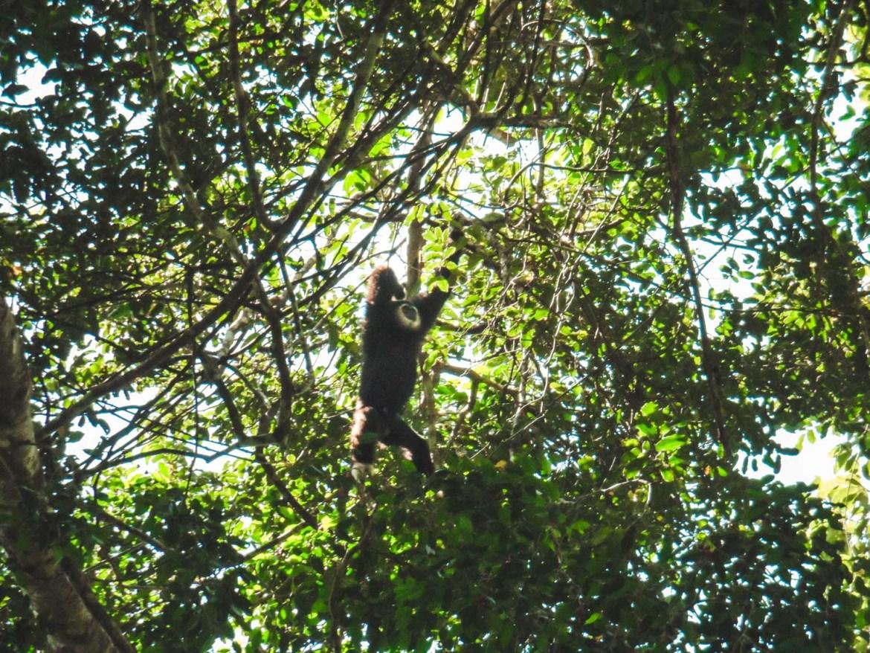 Gibbon in Khao Yai National park