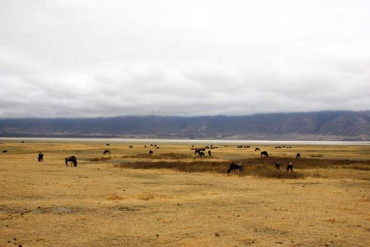 Gnus im Ngorongoro Krater