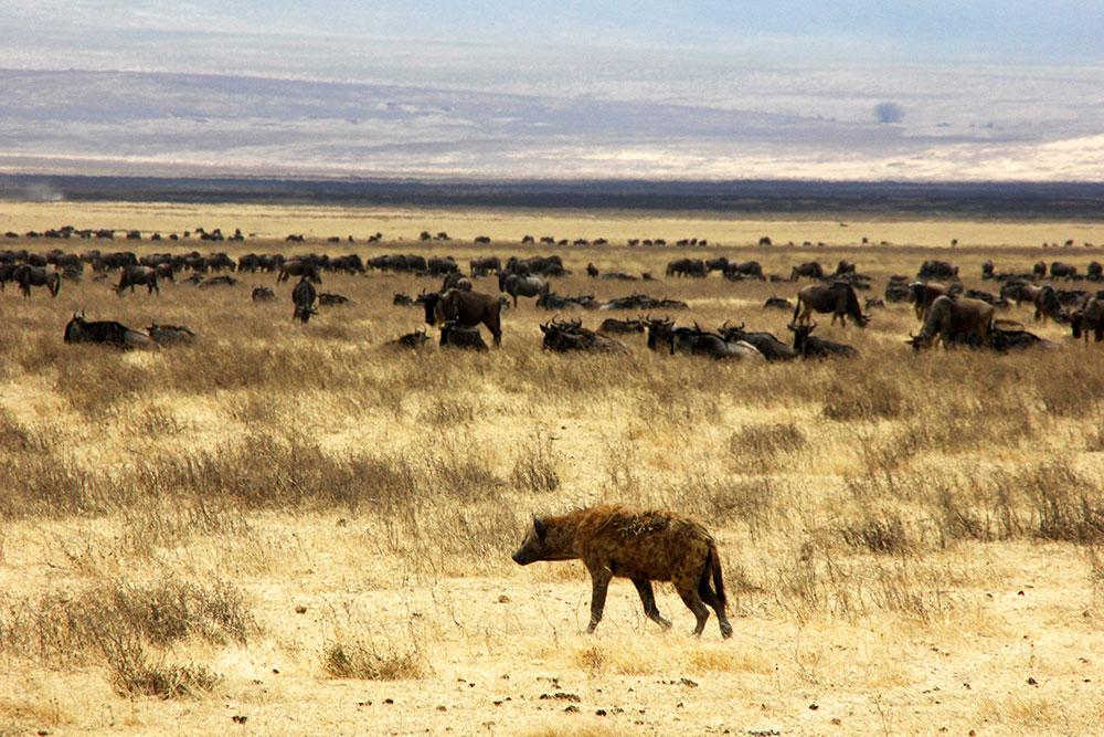 Hyäne im Ngorongoro Krater