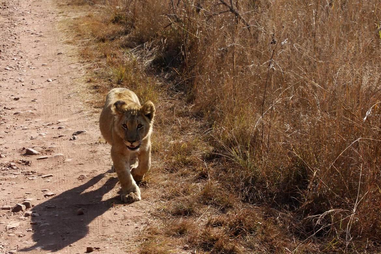 Junger Löwe läuft auf Sandpiste