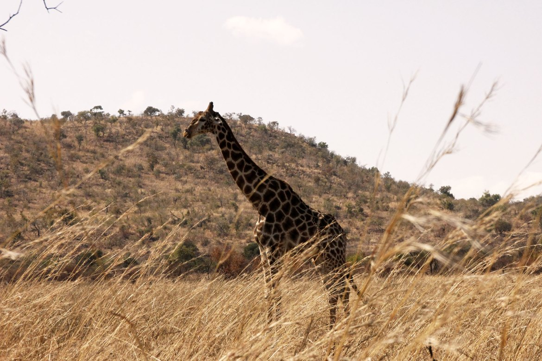 Giraffe in brown landscape in Pilanesberg