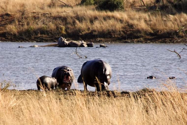 Zwei Nilpferde mit Baby am Ufer