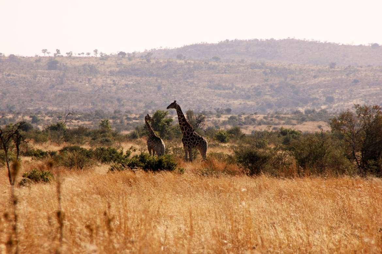 Zwei Giraffen in hügeliger Graslandschaft in Pilanesberg