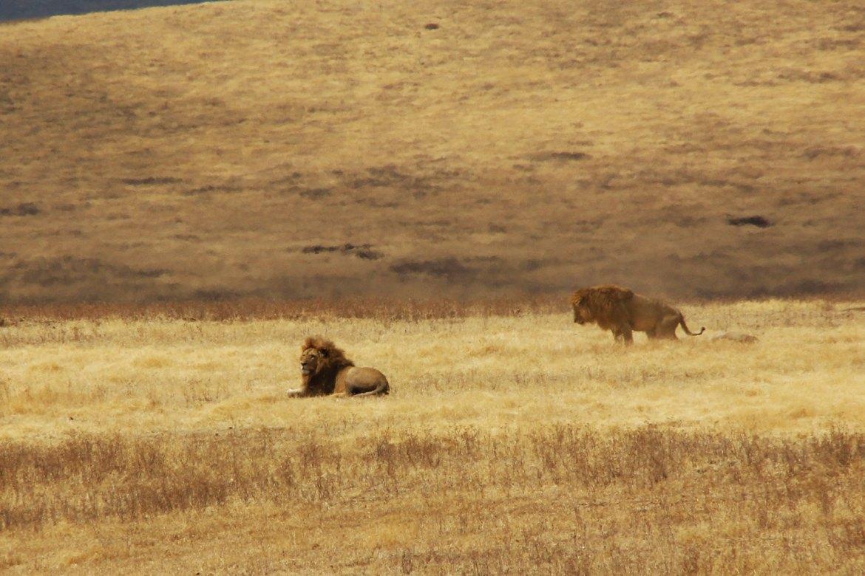 Zwei männliche Löwen in der Landschaft