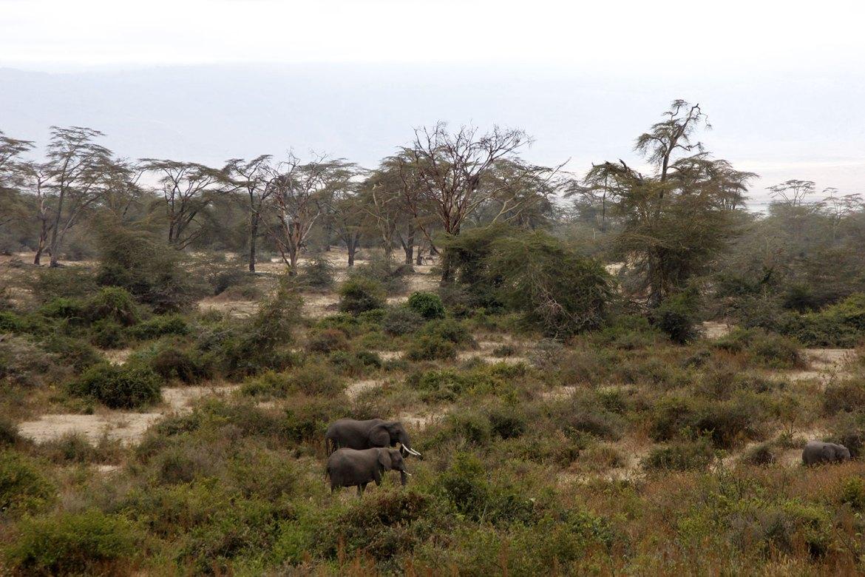 Drei Elefanten im Wald im Ngorongoro Krater