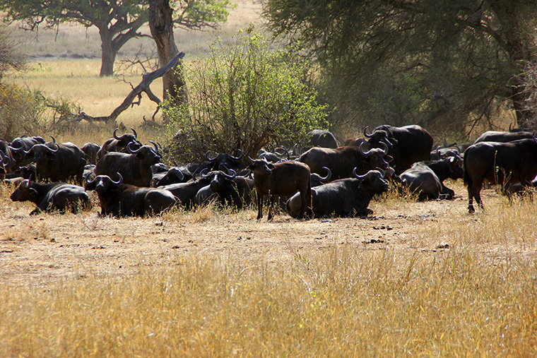 Büffelherde liegt im Gras im Tarangire Nationalpark
