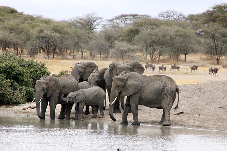 Elefantenherde an Wasserloch im Tarangire Nationalpark in Tansania
