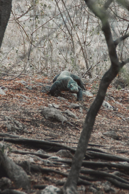 Komodo Waran im Komodo Nationalpark