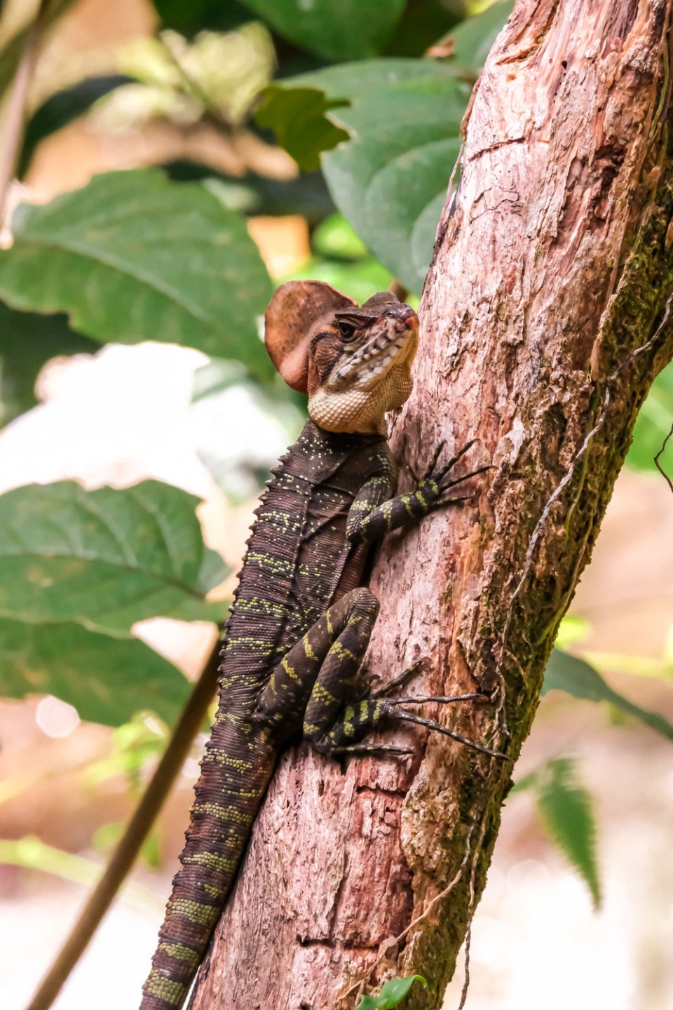 Lizard in Colombia