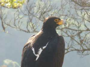Drakensberg Raptors: Black Eagle